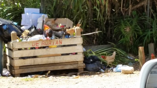 Sandy Bay, Honduras: Free range chickens at Roatan