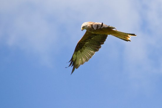 Rhayader, UK: Red Kite