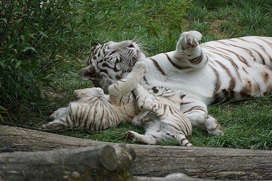 Hermival-les-Vaux, ฝรั่งเศส: Tigres blancs du Bengale Cerza