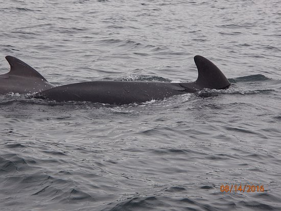 Pleasant Bay, Canadá: One of the many pilot whale pods we saw that day