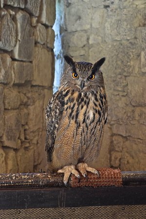 Chauvigny, Γαλλία: A Eurasian eagle owl with a hard stare