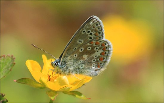 Ilkley, UK: common blue butterfly