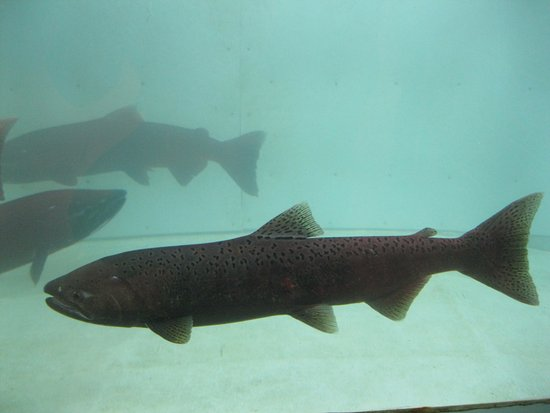 Whitehorse Fishway: Salmon in holding tank