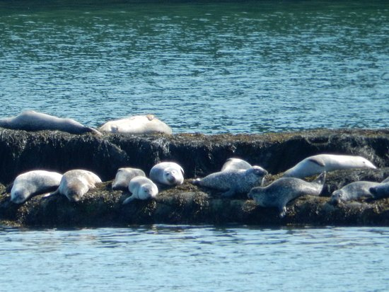 Orrs Island, ME: Seals on the rock island in the cove