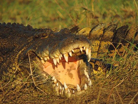 Kasane, Botsuana: A big boy on the banks of the Chobe River.