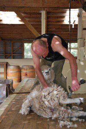 The Point Sheep Shearing Show : Sheep Shearing Show