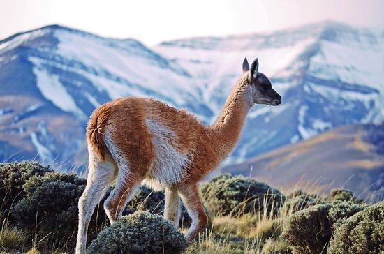 Torres del Paine National Park: Guanaco