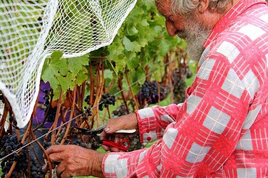 Havelock North, Новая Зеландия: Hand Harvesting