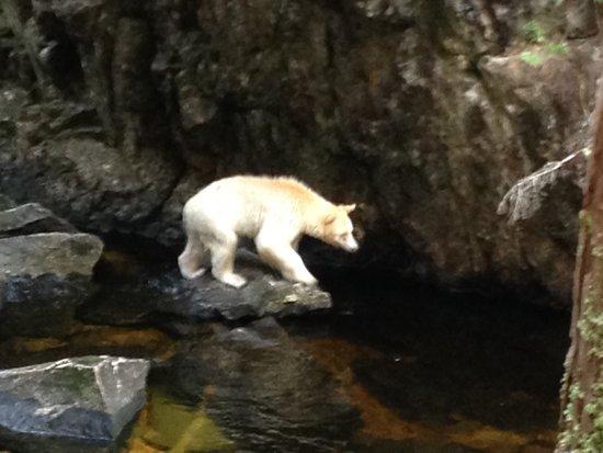 Klemtu, Kanada: Spirit Bear in Great Bear Rainforest, British Columbia, Canada, near Spirit Bear Lodge