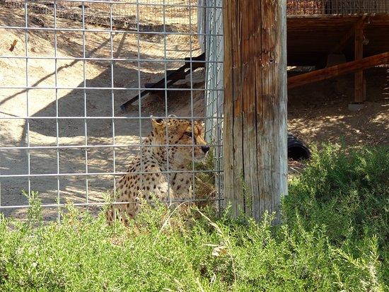 Dunlap, CA: A cheetah