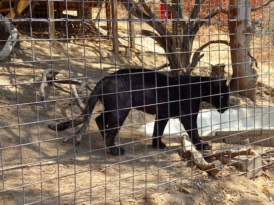 Dunlap, Califórnia: A Jaguar