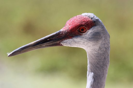 Owensboro, KY: Sandhill Crane