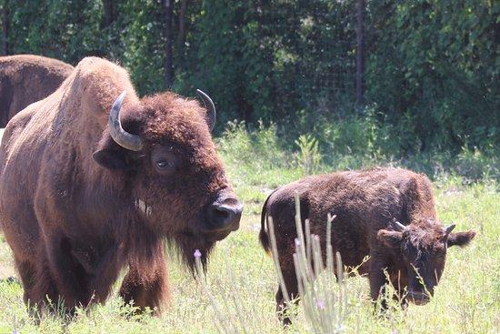 Owensboro, KY: Bison