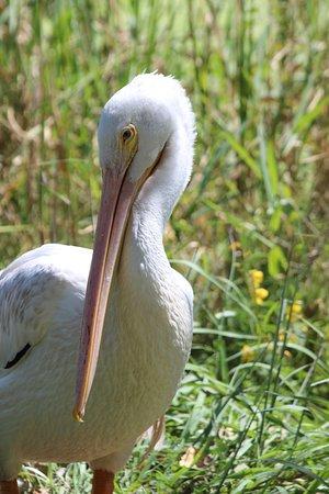 Owensboro, KY: White Pelican