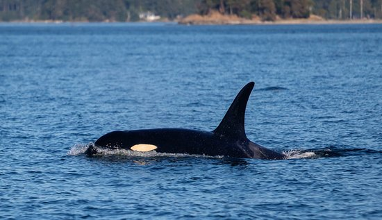 Eastsound, WA: An orca in the San Juans.
