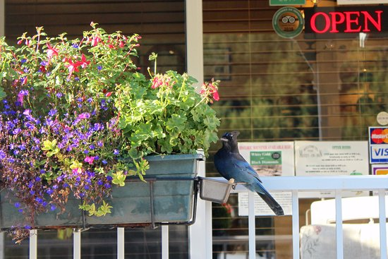 Coalmont, Canada: Blue jay outside the office
