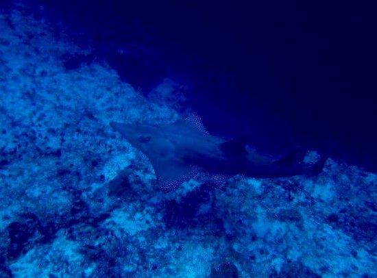 Bira Dive Camp : Guitar shark