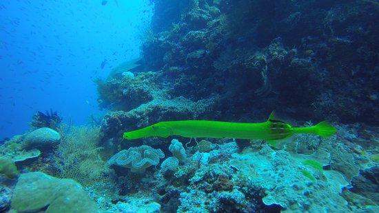 Rakiraki, Fiyi: Chinese trumpet fish