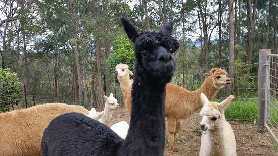 gorgeous healthy alpacas in Kin Kin.