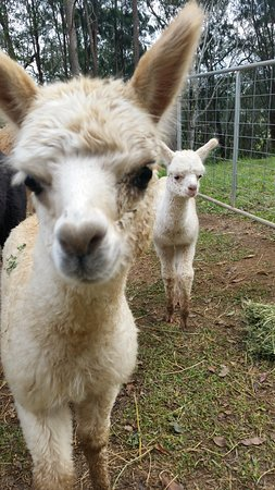 Kin Kin, Australië: cute alpacas