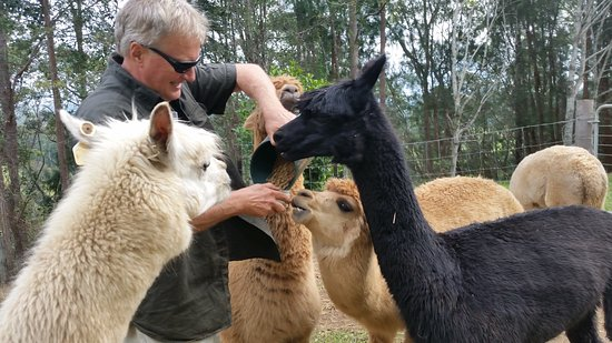 Kin Kin, Australie : feeding the alpacas