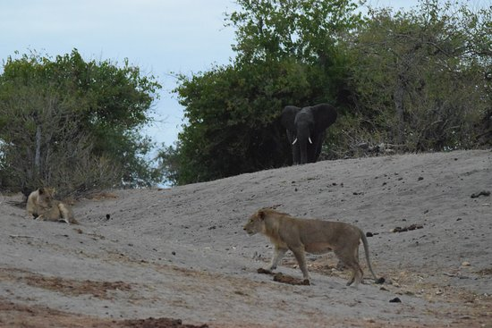Kasane, Botswana: Lions attempt an attack on an isolated part of the herd, but the rest of the herd comes back!