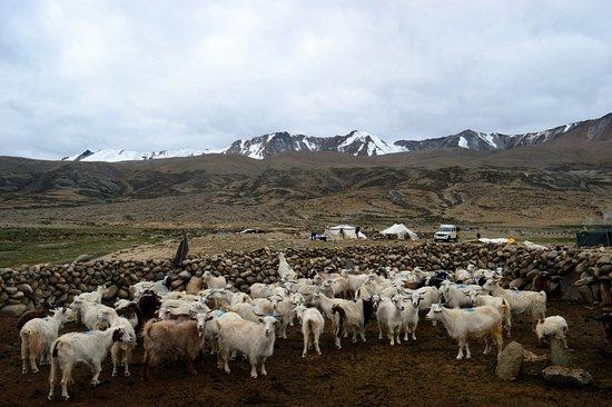 Bomdila, อินเดีย: Nomadic Tribe, Tsomoriri Lake, Ladakh