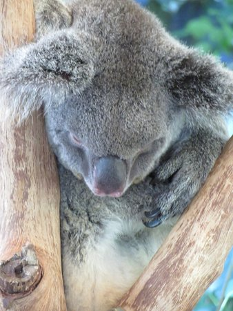 Palm Cove, Australia: The koalas