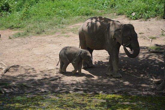Sayaboury, Laos: Baby elephant