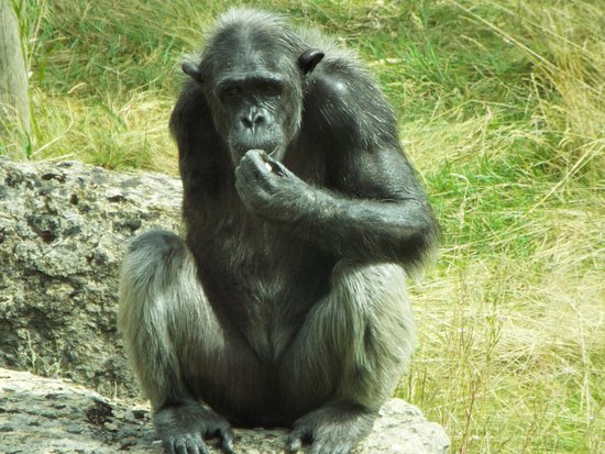 Monkey World: Lulu the one armed chimp looking a bit thoughtful