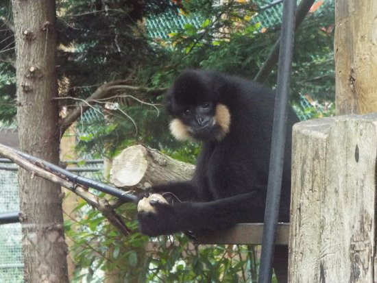 Monkey World: A golden cheeked gibbon taking a good look at me watching him