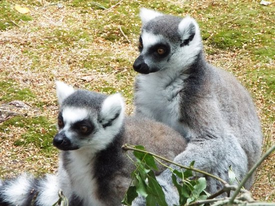 Monkey World: These cheeky lemurs watching the keepers laying out browse for the rest of the family