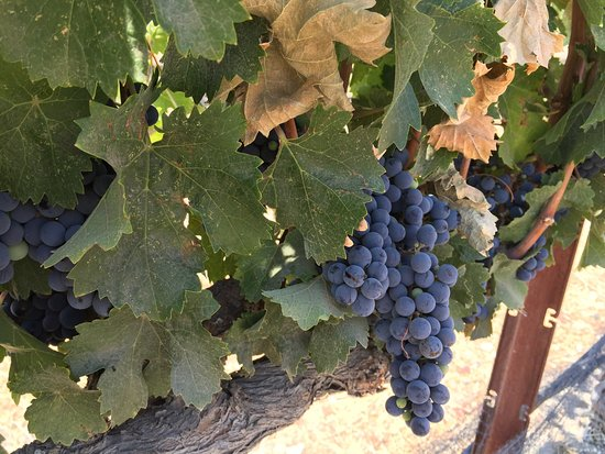 Paso Robles, CA: Beautiful Vineyards ready for Harvest