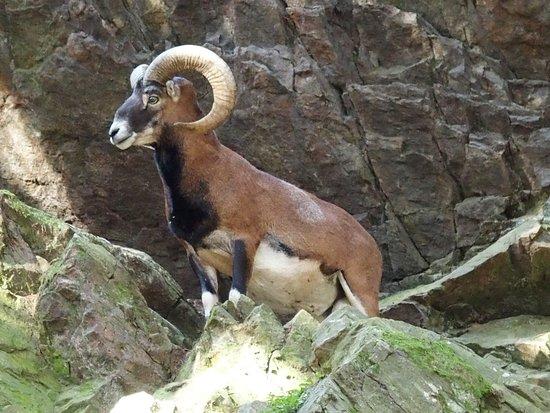Les Houches, Frankrijk: Mouflon