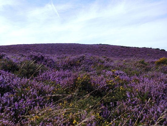 Porlock, UK: heather