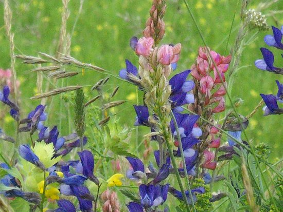 Piana di Castelluccio di Norcia: un fiore