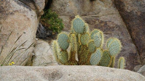 Twentynine Palms, CA: Кактусы прекрасно уживаются с камнями!