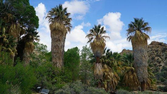 Твентинайн-Палмз, Калифорния: Любопытные пальмы