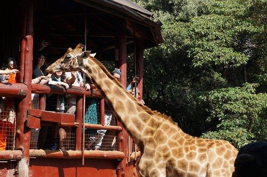 African Fund for Endangered Wildlife (Kenya) Ltd. - Giraffe Centre: Feeding platform