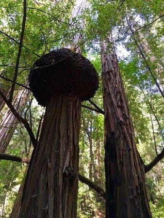 Милл-Валлей, Калифорния: Giant burle many hundreds of years old