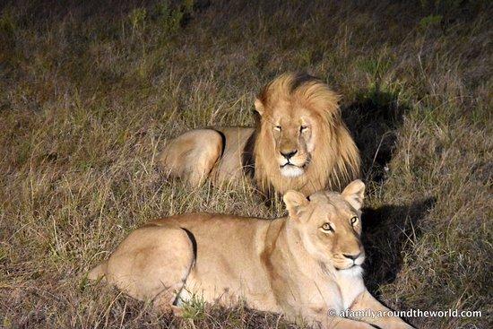 Port Elizabeth, South Africa: Lions observés depuis le 4X4 (zoom 55)