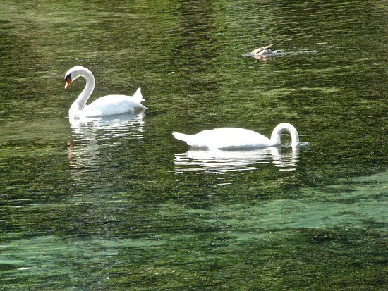 Boiling Springs, PA: Swans