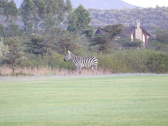 """Great Rift Valley Lodge & Golf Resort: Wild Zebra grazing on the golf course with my """"cottage"""" in the rear."""