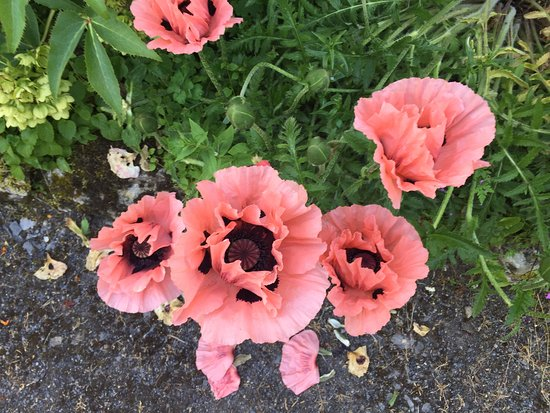Belvedere House Gardens & Park: Poppies