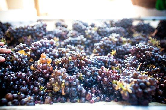 Hood River, Oregon: Pinot Gris grapes