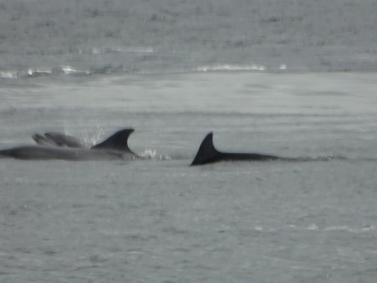 Chanonry Point dolphins