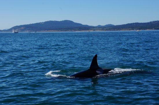 Port Townsend, WA: An Orca surfacing off of San Juan Islands
