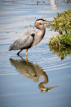 Heron at the Wharf in Salmon Arm