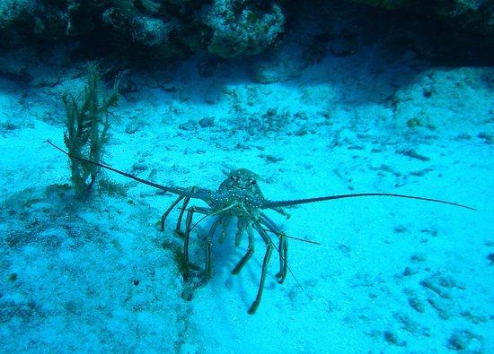Paradise (Paraiso) Reef : Huge lobster!