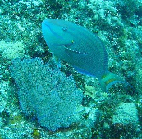 Paradise (Paraiso) Reef : Gorgeous Parriot fish!